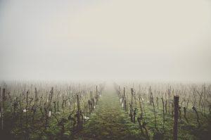 Weinstöcke im Winter
